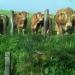 les vaches du Lévézou